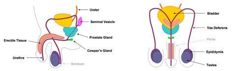 labeled male reproductive system diagram clipart
