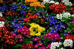 beautiful flowers in the park primrose wallpapers and