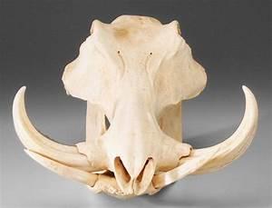 REF - 0767: Wild Boar Skull : Lot 767 | Personal Projects ...