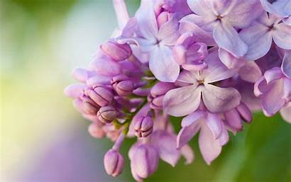 Lilac Wallpapers Flower Pink Closeup Hq Backgrounds