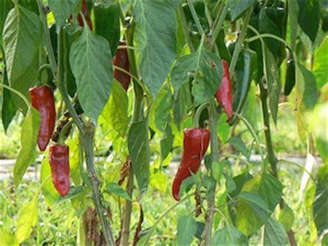 plant de cuisine piment semis culture et récolte