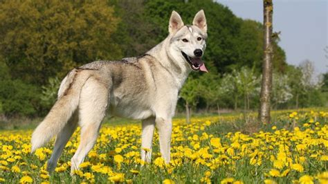 huskies that dont shed 9 dogs that look like huskies barking royalty