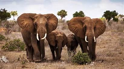 Elephant Animals Wallpapers Savannah Elephants 1080p Animal