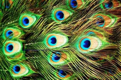 Peacock Feather Wallpapers Hd Pictures  One Hd Wallpaper