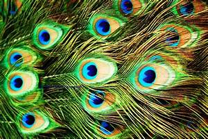 Peacock Feather Wallpapers HD Pictures – One HD Wallpaper ...