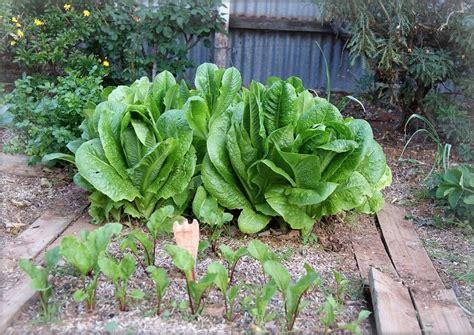 garden plans vegetables  grow  partial shade