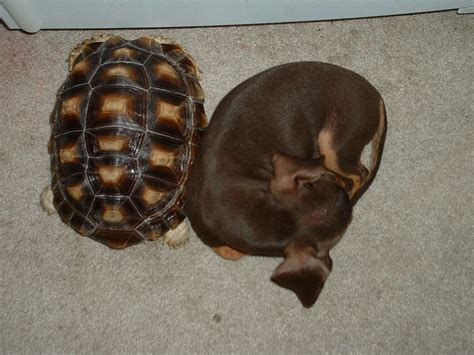 Sulcatas Turtle Store Pig African Pets Animals