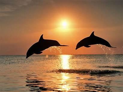 Bottlenose Dolphins Wallpapers Dolphin Cool Sunset Bottle