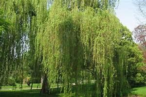Arbre à Croissance Rapide Pour Ombre : les arbres d ornement pont l abbe quimper ~ Premium-room.com Idées de Décoration