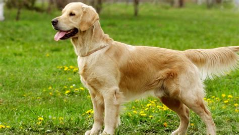 Golden Retriever All About Dogs