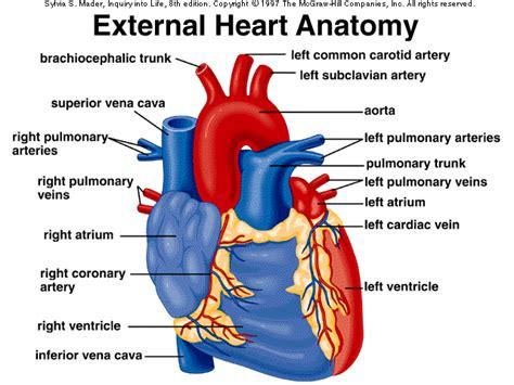 drymkadiyani external heart anatomy