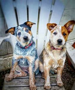 102 best red and blue heeler images on Pinterest ...