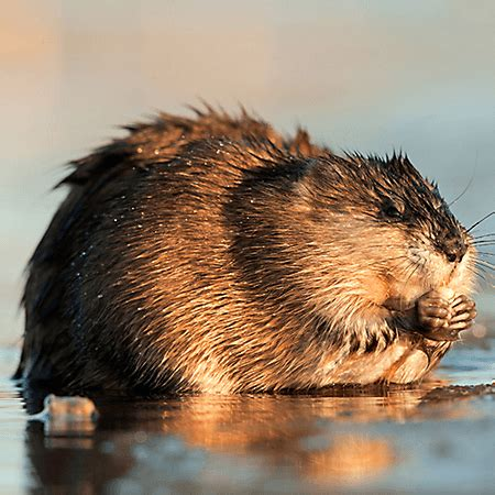 Images Of Muskrats Muskrat General And Surprising Facts And Five