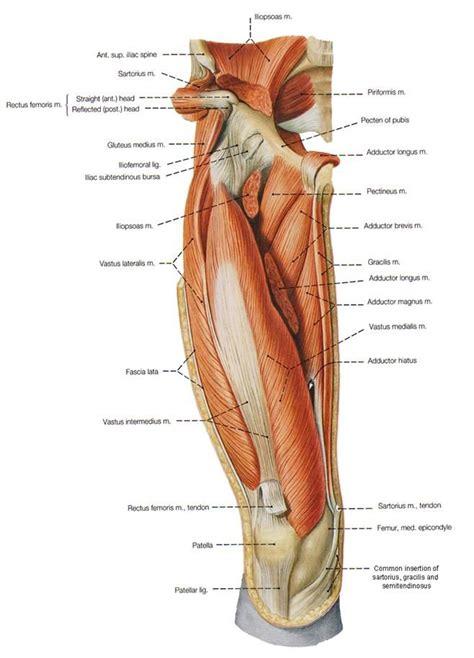 Adductor brevis • Origin: body & inferior ramus of pubis