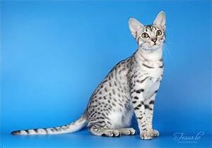 tessochka: ocicat | freaking cute | Pinterest