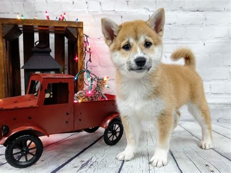 They are responsible for us being called foxes. Shiba Inu-DOG-Female-Red Sesame-2943131-Petland Murfreesboro