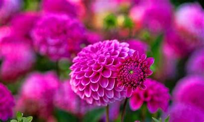 Flower Dahlia Wallpapers Flowers Definition Background Backgrounds