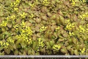 Bodendecker Gelb Blühend : bodendecker f r den schatten 55 sorten f r schattige pl tzchen ~ Frokenaadalensverden.com Haus und Dekorationen
