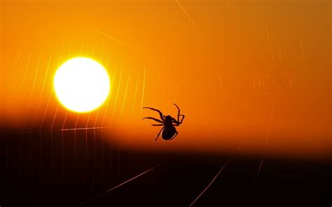 Animal Silhouette Wallpaper - animals spider spiderwebs sunset insect silhouette