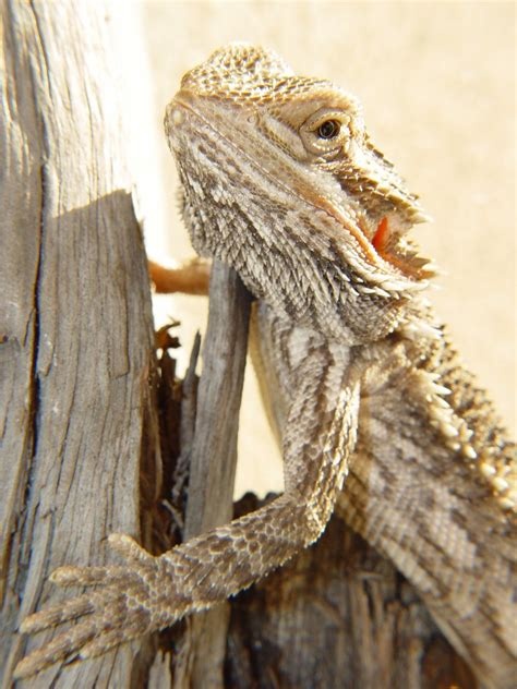 Download, share or upload your own one! Free bearded dragon 2 Stock Photo - FreeImages.com