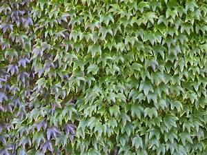 Schöne Pflanzen Für Den Garten : kletterpflanzen garten ~ Michelbontemps.com Haus und Dekorationen