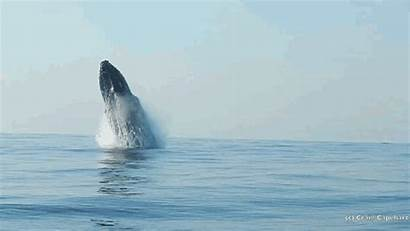 Whale Water Jumps Rare Caught Camera Ton