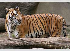 National Animal Of Malaysia – Malayan Tiger 123Countriescom