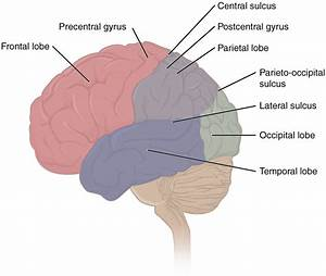 This Figure Shows The Lateral View Of The Brain And The