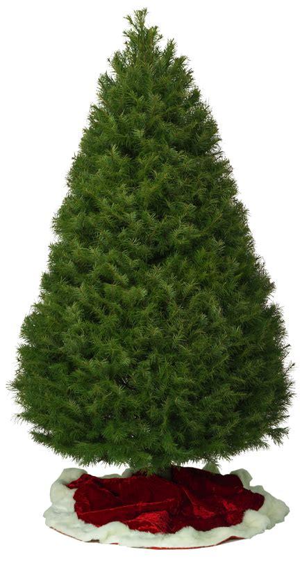 douglas fir christmas tree care douglas fir kirk company