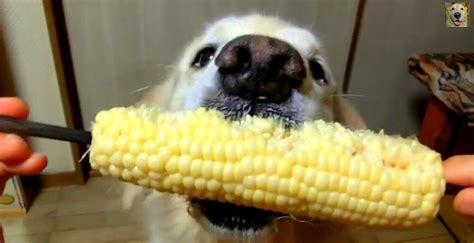 can dogs eat corn cobs can dogs eat corn cobs 28 images 15 dogs eating corn on the cob like it s their job