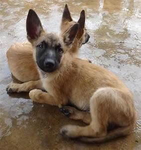 Belgian Shepherd Malinois Puppies Sold - 5 Years 11 Months ...