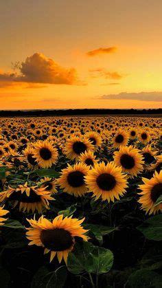 desktop wallpaper downloads sunflower