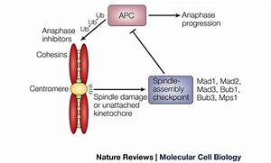 Kinetochore Function And Anaphase Progression  The Spindle