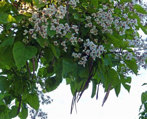 gewoehnlicher trompetenbaum catalpa bignonioides