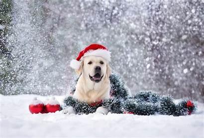 Snow Dog Labrador Santa Hat Happy Posing