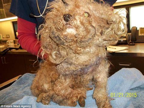groomed   decade  poodles fur