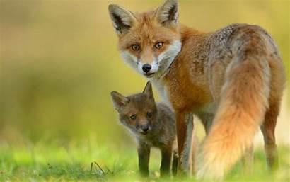 Fox Animals Cub Resolution