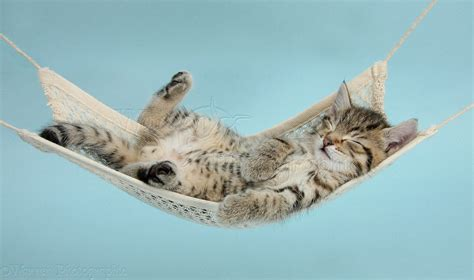 Kitten In A Hammock by Tabby Kitten Sleeping In A Hammock Photo Wp36906