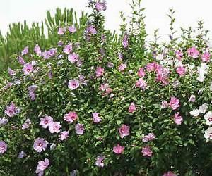 Taille De L Hibiscus : hibiscus syriacus plantation entretien et taille ~ Melissatoandfro.com Idées de Décoration