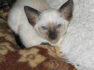 seal point cat seal point siamese bracknell berkshire pets4homes