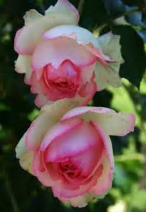 Pink-Tipped Roses