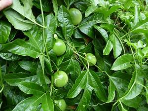 Growing passionfruit | Gardening With Angus