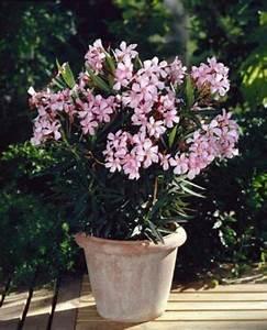 Oleander Im Winter : overwintering oleander indoors information on oleander care in winter ~ Orissabook.com Haus und Dekorationen