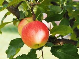 Wann Apfelbaum Pflanzen : apfelbaum pflanzen pflege sorten ~ Lizthompson.info Haus und Dekorationen