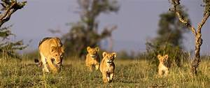 Lion Population in Africa Likely to Fall by Half, Study ...