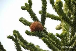 Ausgleichsmasse Berechnen : araucaria baum araucaria kiefer baum isoliert auf wei em ~ Themetempest.com Abrechnung