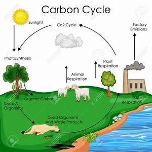 Carbon Cycle Diagram Biology