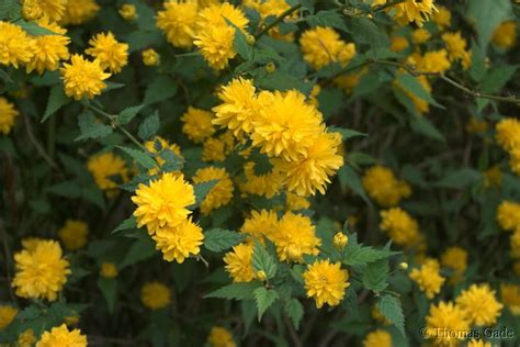 flora kerria japonica kerrie natur pflanzen ranunkel