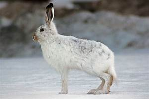Arctic Hare Facts and Adaptations - Lepus arcticus