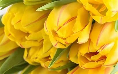 Yellow Tulips Background Wallpapers Desktop 4k